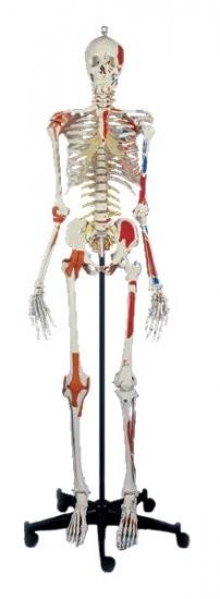 Super-Skelett 180 cm