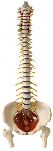 Wirbelsäule inkl. Beckenbodenmuskulatur - Weiblich