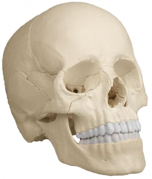 Osteopathie-Schädel