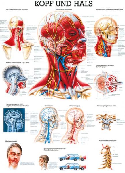 Lehrtafel - Kopf & Hals