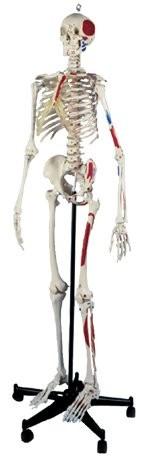 Homo-Skelett Plus
