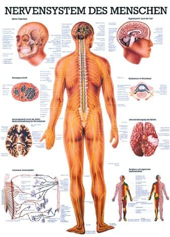 Nervensystem des Menschen